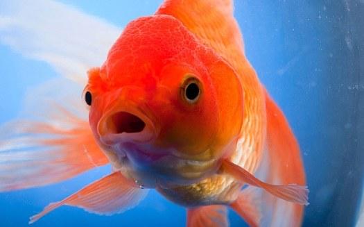 goldfish_3353046b