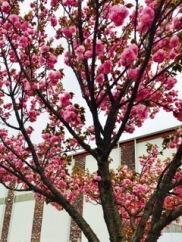 Big Cedar tulip tree