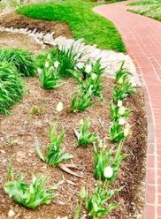Big Cedar tulips