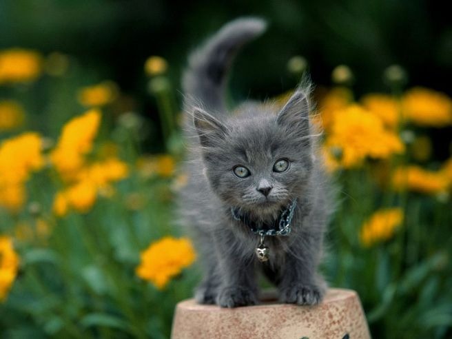 gray kitten one